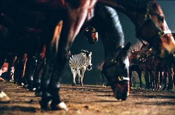 Deu Zebra! : Foto